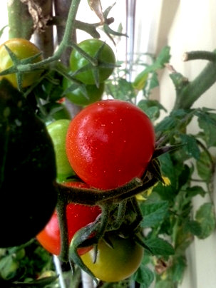 Tomatoes affected by Psyllid
