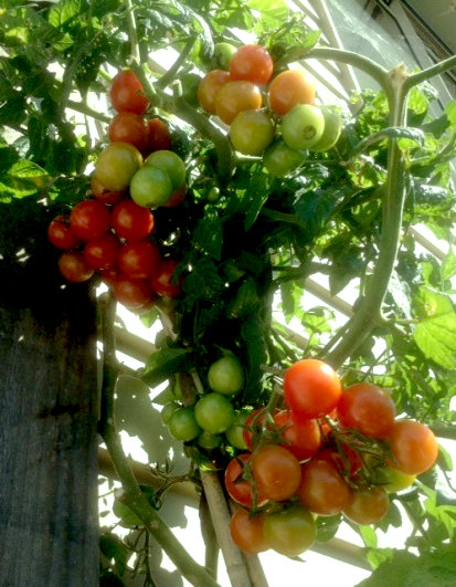 Tomatoes growing in a pot