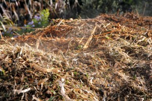 Steaming mulch early in composting phase